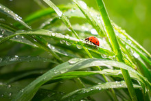 Ladybug On Grass In Summer In ...