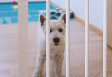 Sad West Highland White Terrier Puppy Stay Behind Dog Fence And Looking At Camera. Isolation Of Puppy When He Is Alone At Home, Selective Focus