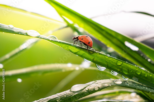 Ladybug on grass in summer in the field close-up Wallpaper Mural