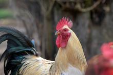 White Beige Rooster Bird In Th...