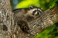 Baby Raccoon Waking Up From A ...