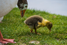 Gosling And Goose Eating Grass...