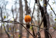 American Robin Bird In Central Park, New York In Spring