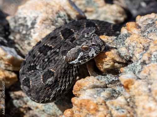 Photo Berg Adder (Bitis atropos) from South Africa