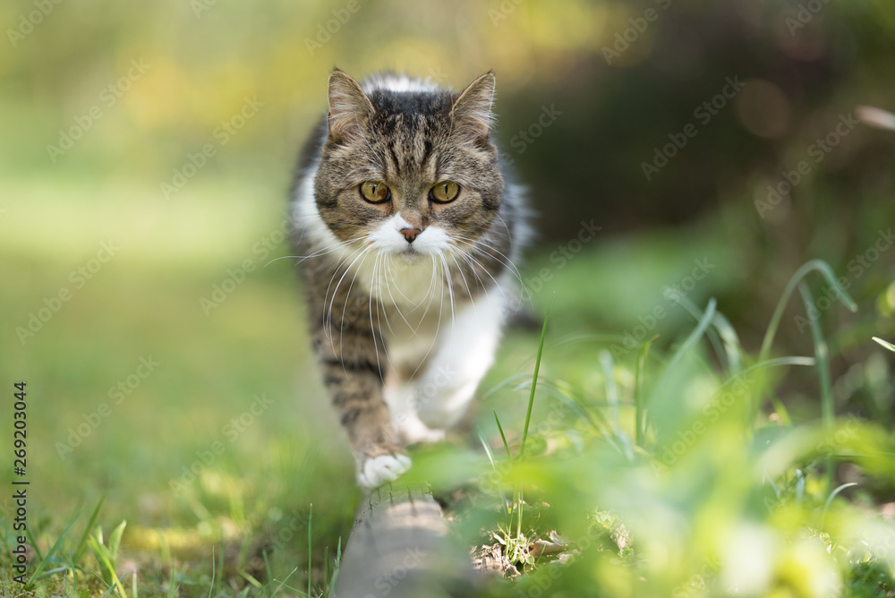 Fototapeta front view of a tabby white british shorthair cat balancing on tree bole
