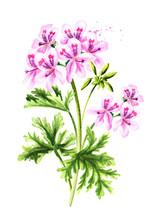 Pelargonium Graveolens Or Pela...