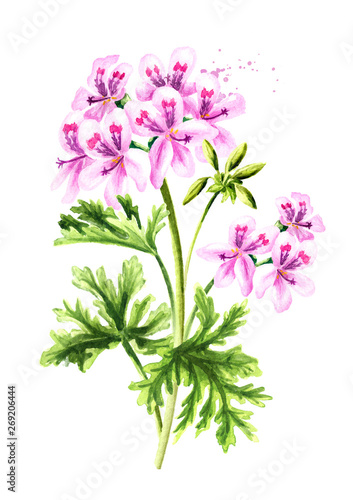 Pelargonium graveolens or Pelargonium x asperum, geranium plant, flower with leaves Wallpaper Mural