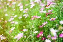 Cosmos Bipinnatus Feel Refreshed, Relaxed When It Comes To Natural Touch