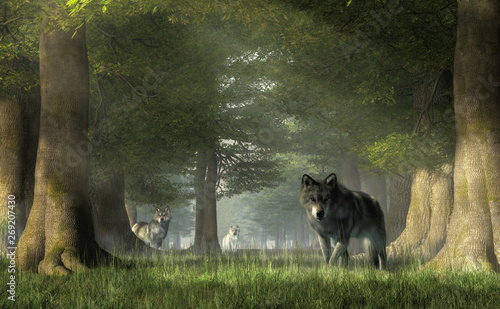 In a forest, a pair of grey timber wolves advances on you while the white furred alpha watches from a distance Canvas Print