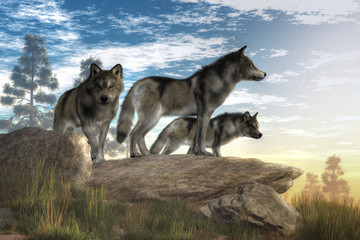 A trio of timber wolves sta...