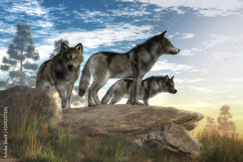 Fotografia A trio of timber wolves stands atop a boulder looking out over a North American wilderness
