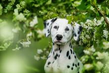 Dalmatian Puppy Sitting Under ...
