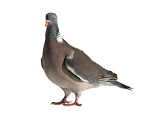 Close Up Side View Of Common European Wood Pigeon Facing Left With Head Stretching Up And Isolated On White Background