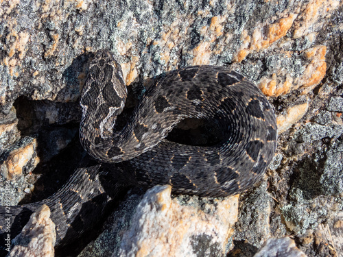 Photo Berg Adder (Bitis atropos) from South Africa