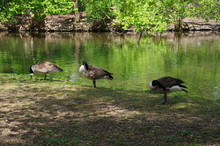 Wild Geese On The Shore Of A F...