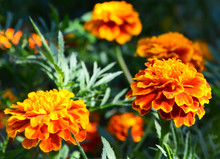 Orange Yellow French Marigold Or  Tagetes Patula Flowers In Summer Garden.Marigolds Floral Background With Copy Space.Selective Focus.