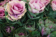 Beautiful Decorative Cabbage Background. Flowers Bloomed Background.