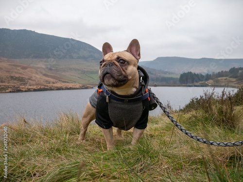 French bulldog outdoors in cold weather on a lead Fototapet