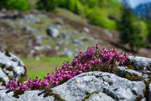 Beautiful Wild Alpine Flowers Between The Rocks, Close Up Photo