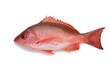 canvas print picture - Single Northern red snapper