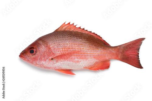 Obraz na płótnie Single Northern red snapper