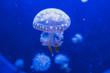 Leinwandbild Motiv Spotted Lagoon Jellyfish Mastigias papua