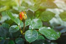 Unopened Rose Bud On Green Bac...