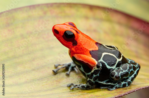 Fototapeta poison dart or arrow frog, Ranitomeya fantastica