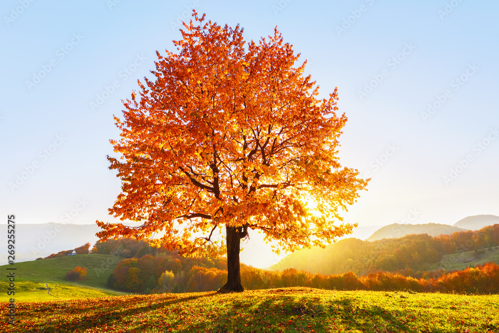 Fototapety, obrazy: On the lawn covered with leaves at the high mountains there is a lonely nice lush strong tree and the sun rays lights through the branches with the background of blue sky. Beautiful autumn scenery.