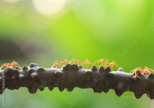 A colony of Green Ants having a conversation on a vine. Fototapete