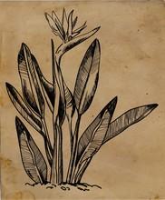 An Old Botanical Illustration....