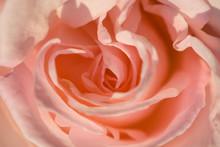 Coral Rose Close-up. Selective Focus..