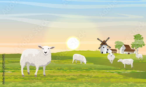 Fototapeta A herd of fluffy white sheep on the meadow