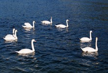 Majestätisch - Schwäne Schwimmen In Formation