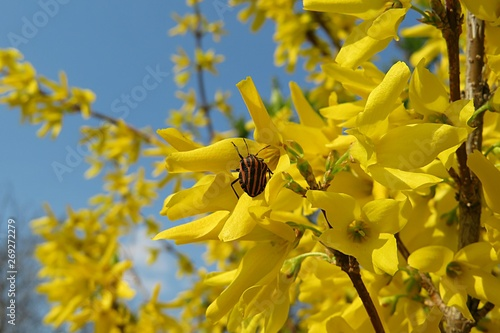 Beetle on forsythia flowers Fototapeta