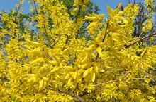 Beautiful Forsythia Flowers