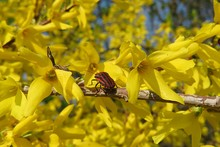 Beetle On Forsythia Flowers