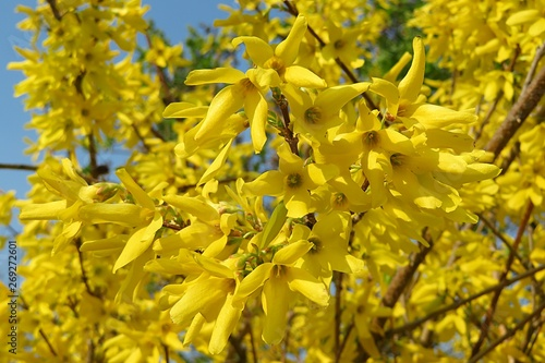 Beautiful forsythia flowers Wallpaper Mural