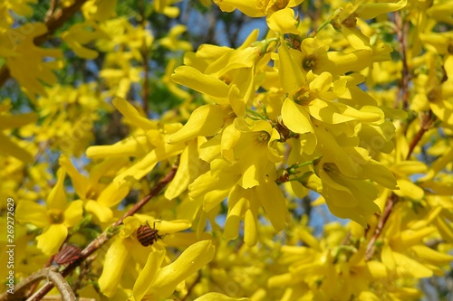 Beautiful forsythia flowers Fototapet