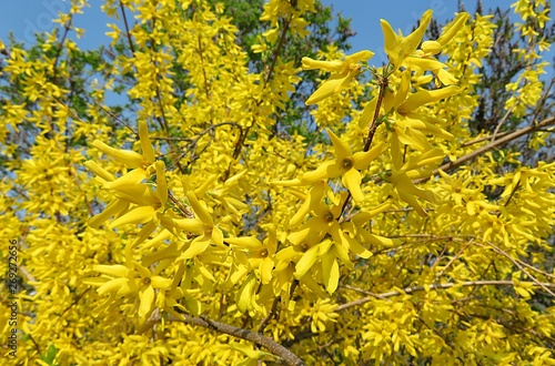 Photo Beautiful forsythia flowers