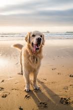 Happy Golden Retriever On The Beach