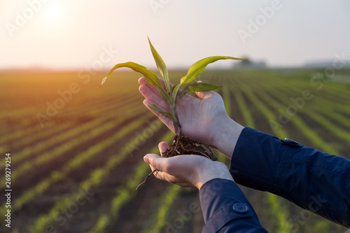 Valokuva  Farmer holding corn sprout in field