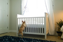 Dog Standing On Hind Legs By Cot