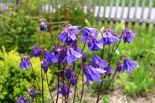 Blaue Akeleien Im Garten