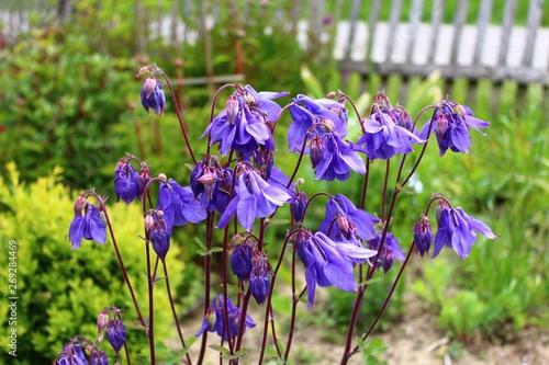 Blaue Akeleien im Garten Canvas Print