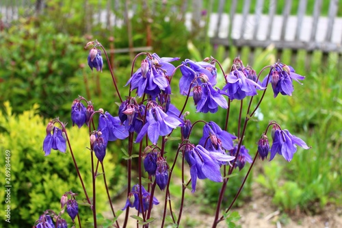Blaue Akeleien im Garten Fototapete