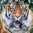 WROCLAW, POLAND - MAY 20, 2019: The Sumatran tiger (Panthera tigris sumatrae) is a rare tiger population in the Indonesian island of Sumatra. ZOO in Wroclaw, Poland.