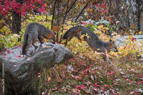 Grey Fox  Urocyon cinereoargenteus  Jumps Off Rock Another Atop Autumn