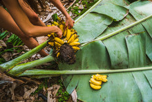 A Woman Harvests Bananas In Th...