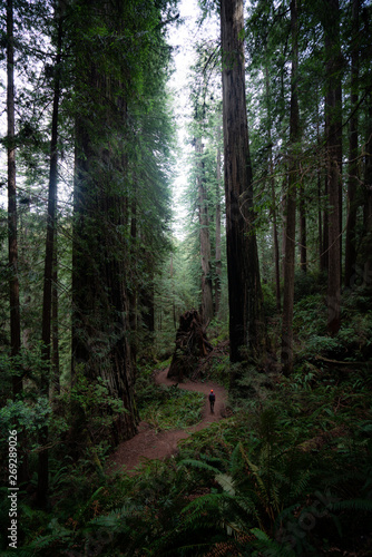 A walk in the Redwoods